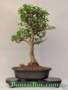 Bonsai Tree Baby Jade   Trained Extra Large Item e2177